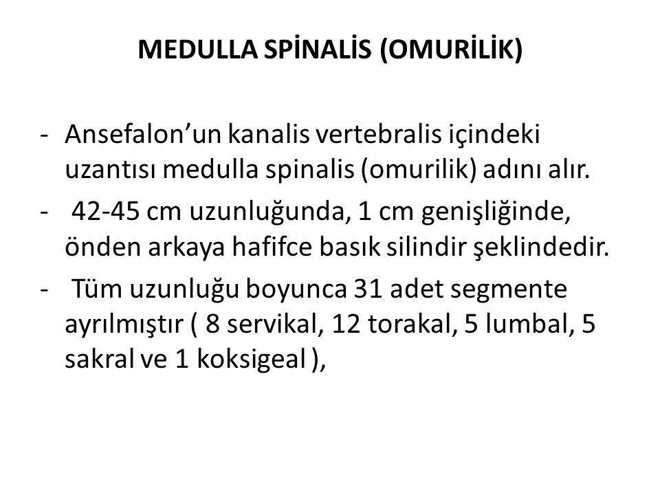 MEDULLA SPİNALİS (OMURİLİK) -Ansefalon'un kanalis vertebralis içindeki uzantısı medulla spinalis (omurilik) adını alır. - 42-45 cm uzunluğunda, 1 cm g