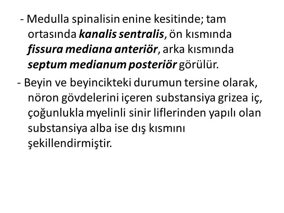 - Medulla spinalisin enine kesitinde; tam ortasında kanalis sentralis, ön kısmında fissura mediana anteriör, arka kısmında septum medianum posteriör g