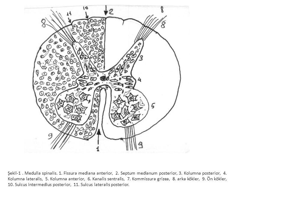 Şekil-1. Medulla spinalis. 1. Fissura mediana anterior, 2. Septum medianum posterior, 3. Kolumna posterior, 4. Kolumna lateralis, 5. Kolumna anterior,