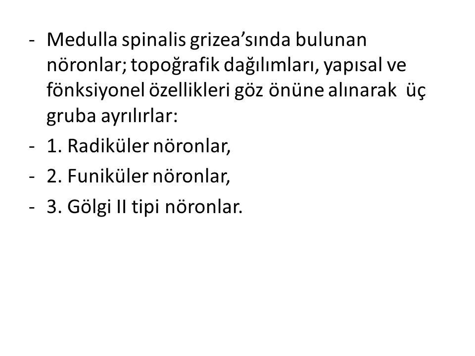 -Medulla spinalis grizea'sında bulunan nöronlar; topoğrafik dağılımları, yapısal ve fönksiyonel özellikleri göz önüne alınarak üç gruba ayrılırlar: -1