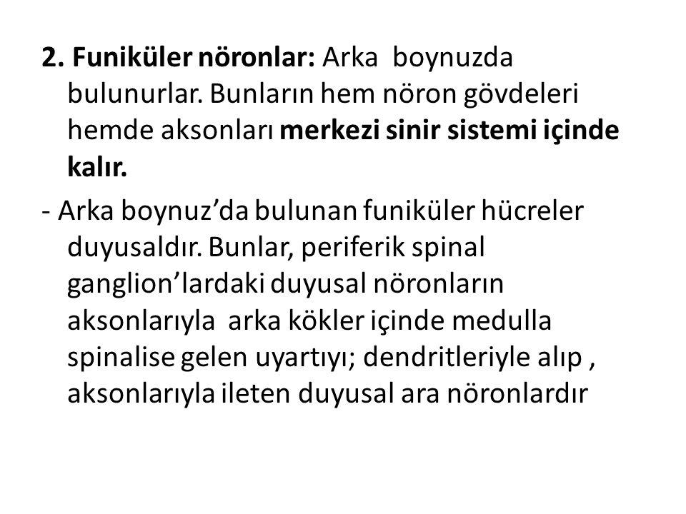 2. Funiküler nöronlar: Arka boynuzda bulunurlar. Bunların hem nöron gövdeleri hemde aksonları merkezi sinir sistemi içinde kalır. - Arka boynuz'da bul
