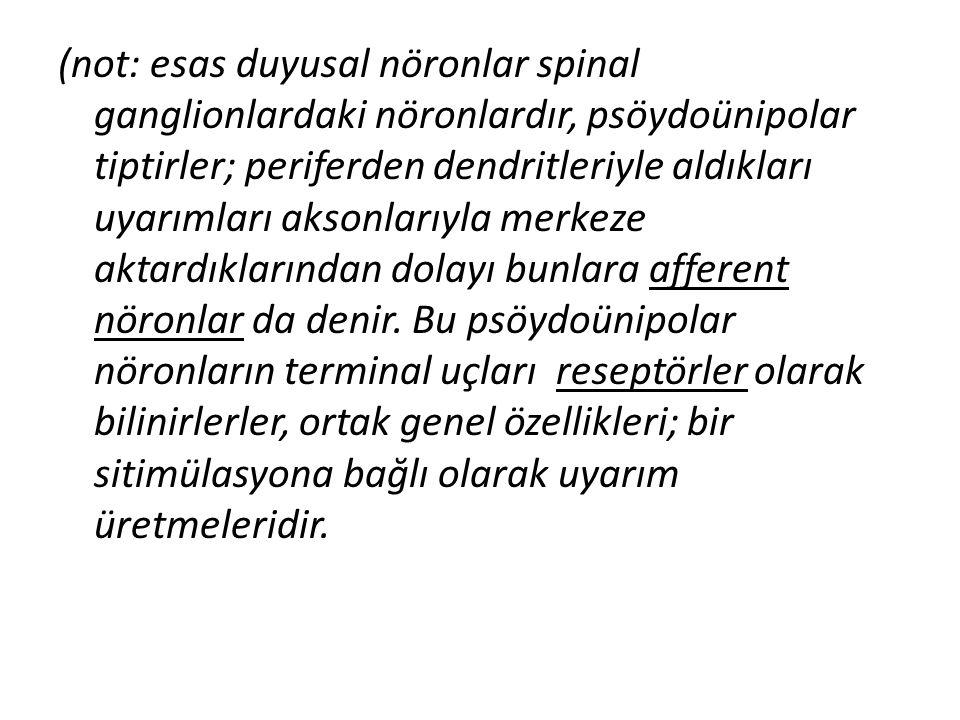 (not: esas duyusal nöronlar spinal ganglionlardaki nöronlardır, psöydoünipolar tiptirler; periferden dendritleriyle aldıkları uyarımları aksonlarıyla