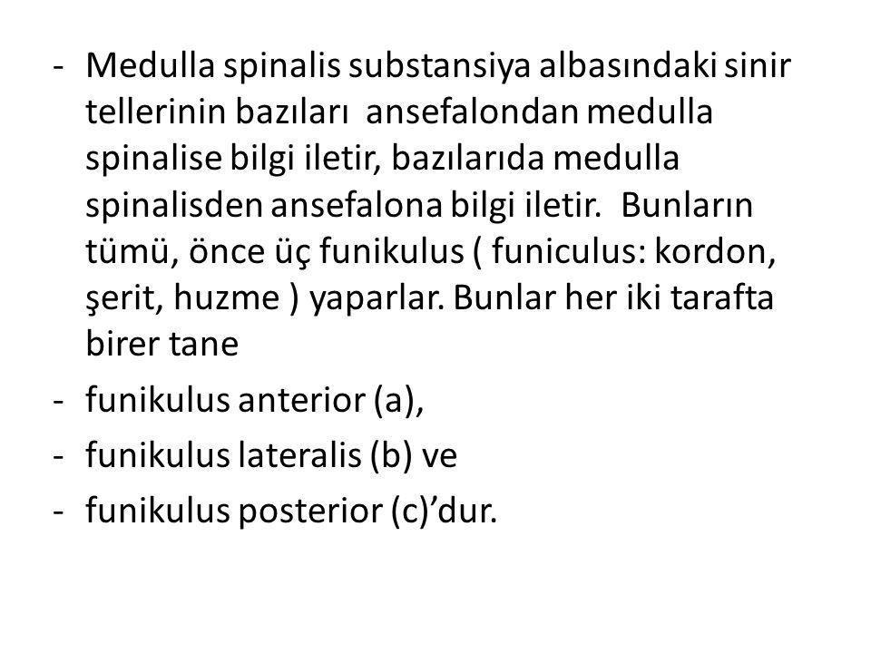 -Medulla spinalis substansiya albasındaki sinir tellerinin bazıları ansefalondan medulla spinalise bilgi iletir, bazılarıda medulla spinalisden ansefa