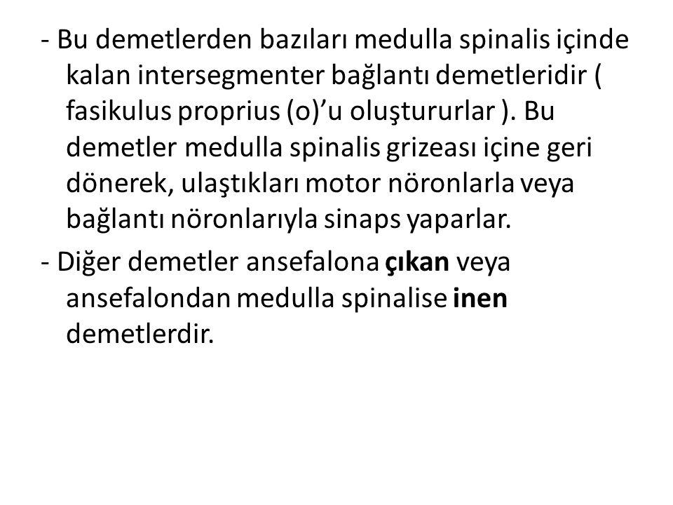 - Bu demetlerden bazıları medulla spinalis içinde kalan intersegmenter bağlantı demetleridir ( fasikulus proprius (o)'u oluştururlar ). Bu demetler me