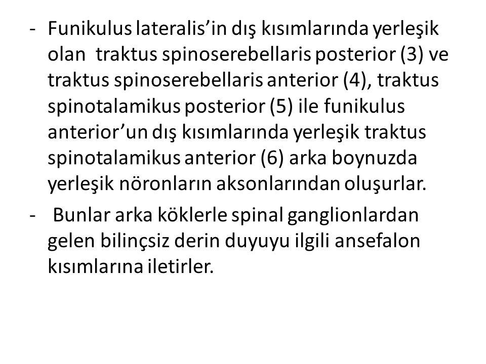 -Funikulus lateralis'in dış kısımlarında yerleşik olan traktus spinoserebellaris posterior (3) ve traktus spinoserebellaris anterior (4), traktus spin