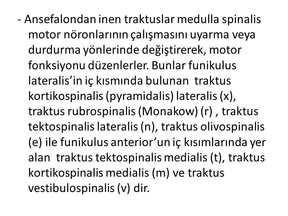 - Ansefalondan inen traktuslar medulla spinalis motor nöronlarının çalışmasını uyarma veya durdurma yönlerinde değiştirerek, motor fonksiyonu düzenler