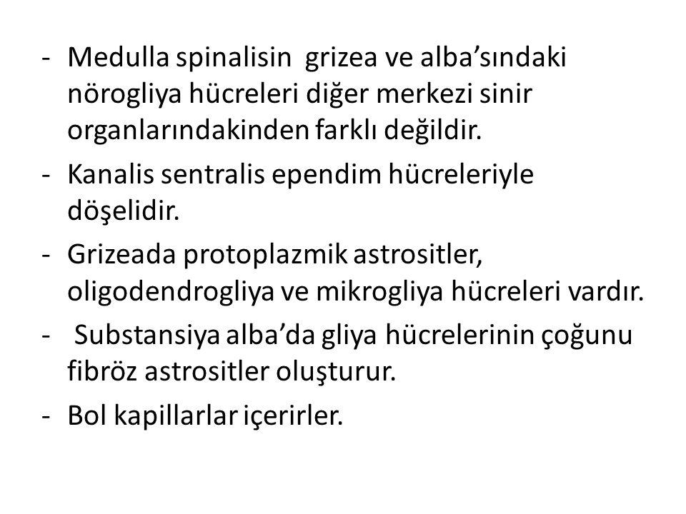 -Medulla spinalisin grizea ve alba'sındaki nörogliya hücreleri diğer merkezi sinir organlarındakinden farklı değildir. -Kanalis sentralis ependim hücr