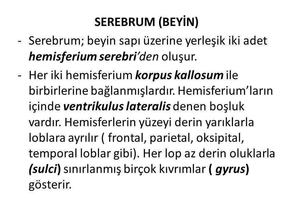SEREBRUM (BEYİN) -Serebrum; beyin sapı üzerine yerleşik iki adet hemisferium serebri'den oluşur. -Her iki hemisferium korpus kallosum ile birbirlerine