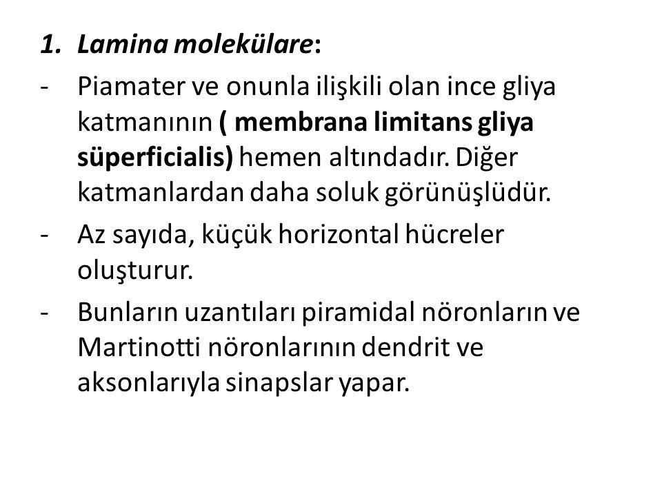 1.Lamina molekülare: -Piamater ve onunla ilişkili olan ince gliya katmanının ( membrana limitans gliya süperficialis) hemen altındadır. Diğer katmanla