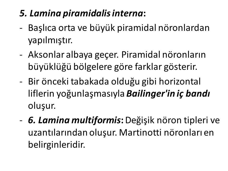 5. Lamina piramidalis interna: -Başlıca orta ve büyük piramidal nöronlardan yapılmıştır. -Aksonlar albaya geçer. Piramidal nöronların büyüklüğü bölgel
