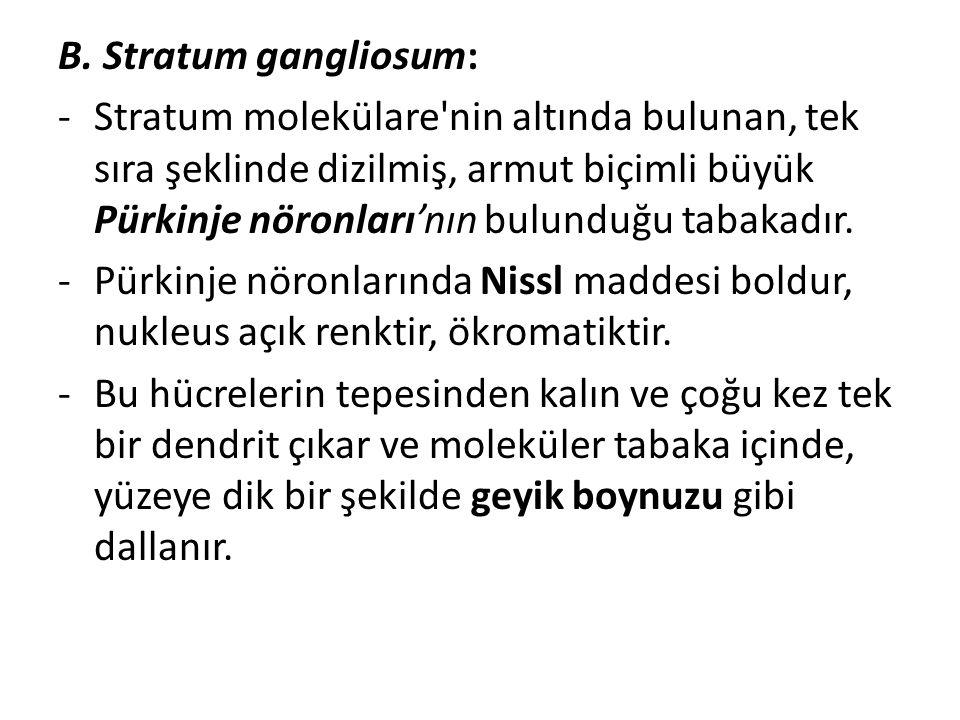 B. Stratum gangliosum: -Stratum molekülare'nin altında bulunan, tek sıra şeklinde dizilmiş, armut biçimli büyük Pürkinje nöronları'nın bulunduğu tabak