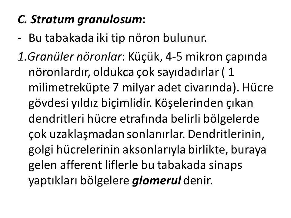 C. Stratum granulosum: -Bu tabakada iki tip nöron bulunur. 1.Granüler nöronlar: Küçük, 4-5 mikron çapında nöronlardır, oldukca çok sayıdadırlar ( 1 mi