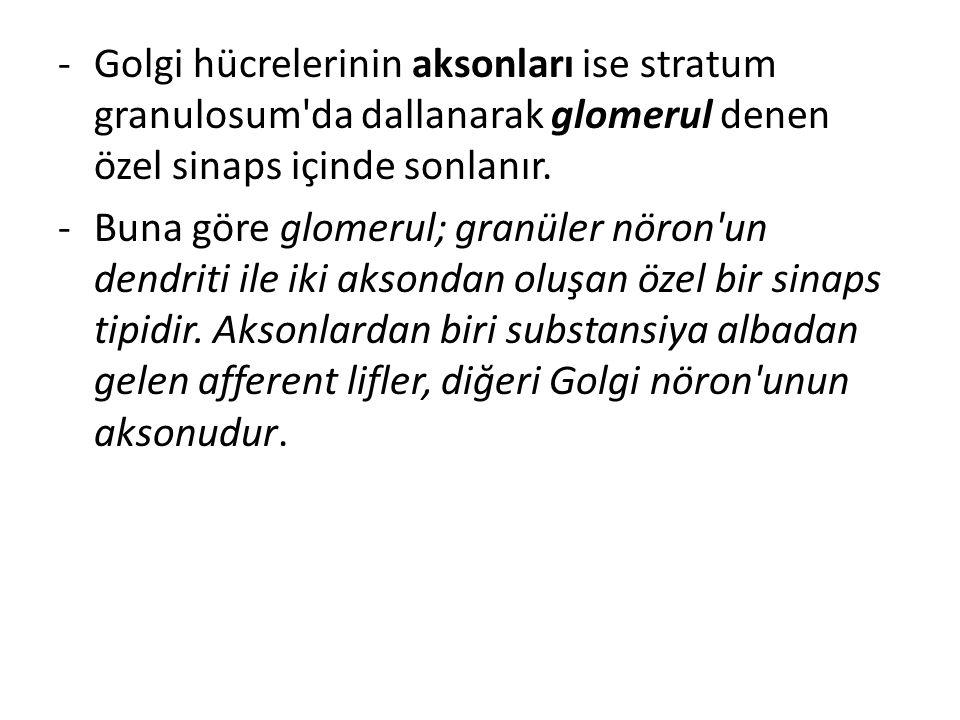 -Golgi hücrelerinin aksonları ise stratum granulosum'da dallanarak glomerul denen özel sinaps içinde sonlanır. -Buna göre glomerul; granüler nöron'un