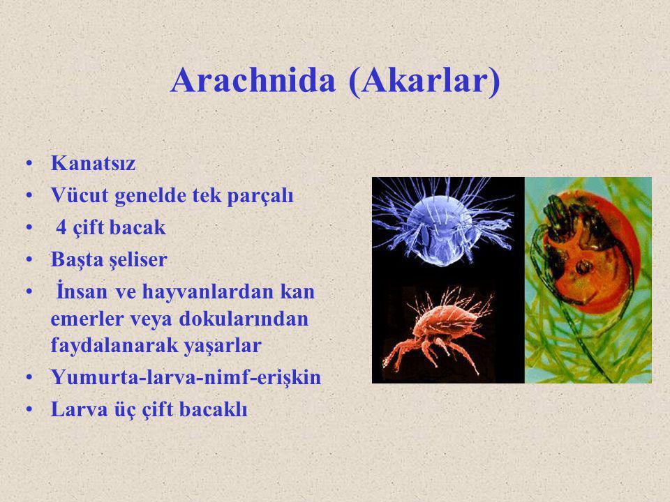 Arachnida (Akarlar) Kanatsız Vücut genelde tek parçalı 4 çift bacak Başta şeliser İnsan ve hayvanlardan kan emerler veya dokularından faydalanarak yaş