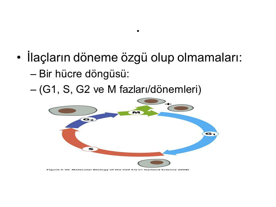 . İlaçların döneme özgü olup olmamaları: –Bir hücre döngüsü: –(G1, S, G2 ve M fazları/dönemleri)