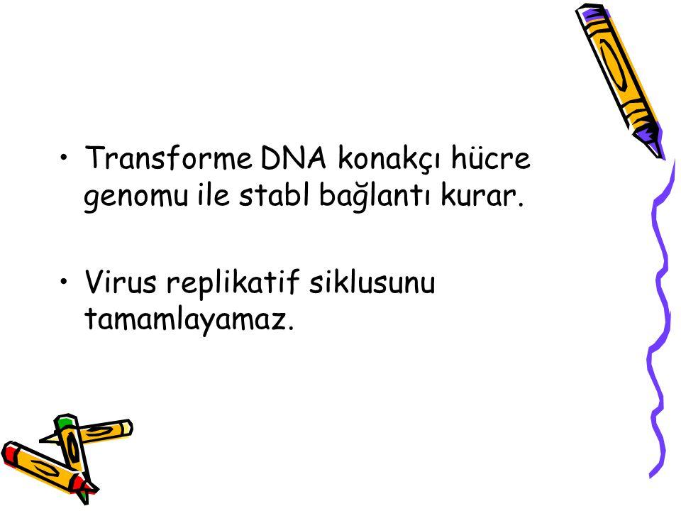 Transforme DNA konakçı hücre genomu ile stabl bağlantı kurar. Virus replikatif siklusunu tamamlayamaz.