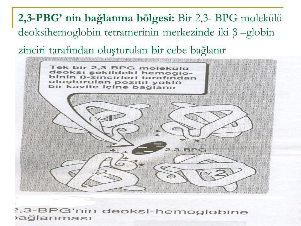 2,3-PBG' nin bağlanma bölgesi: Bir 2,3- BPG molekülü deoksihemoglobin tetramerinin merkezinde iki β –globin zinciri tarafından oluşturulan bir cebe ba