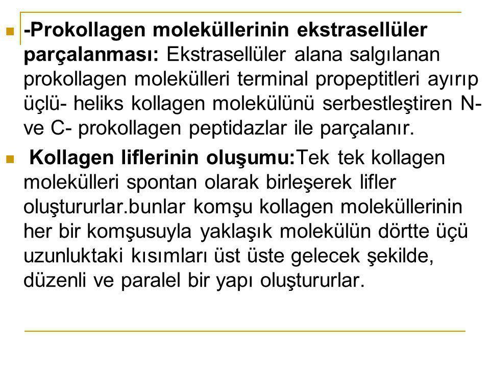 -Prokollagen moleküllerinin ekstrasellüler parçalanması: Ekstrasellüler alana salgılanan prokollagen molekülleri terminal propeptitleri ayırıp üçlü- h