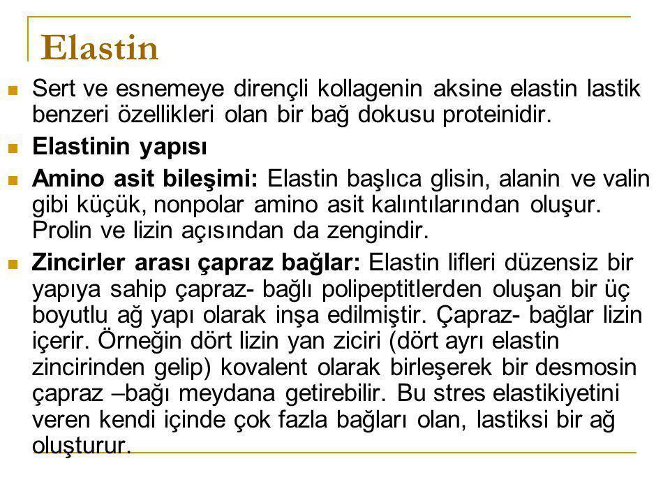 Elastin Sert ve esnemeye dirençli kollagenin aksine elastin lastik benzeri özellikleri olan bir bağ dokusu proteinidir. Elastinin yapısı Amino asit bi