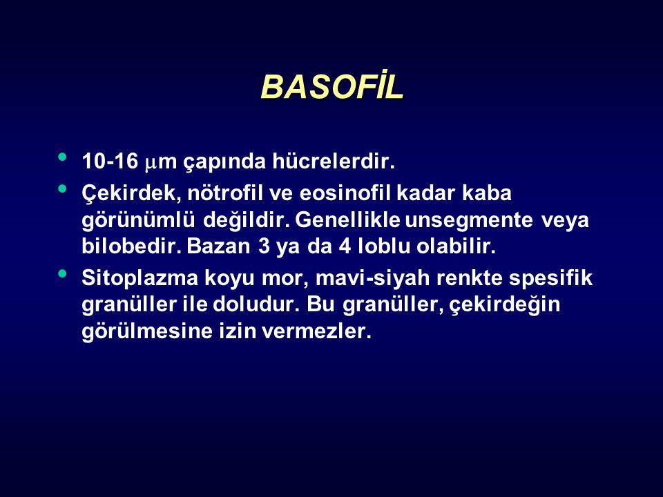 BASOFİL 10-16  m çapında hücrelerdir. Çekirdek, nötrofil ve eosinofil kadar kaba görünümlü değildir. Genellikle unsegmente veya bilobedir. Bazan 3 ya