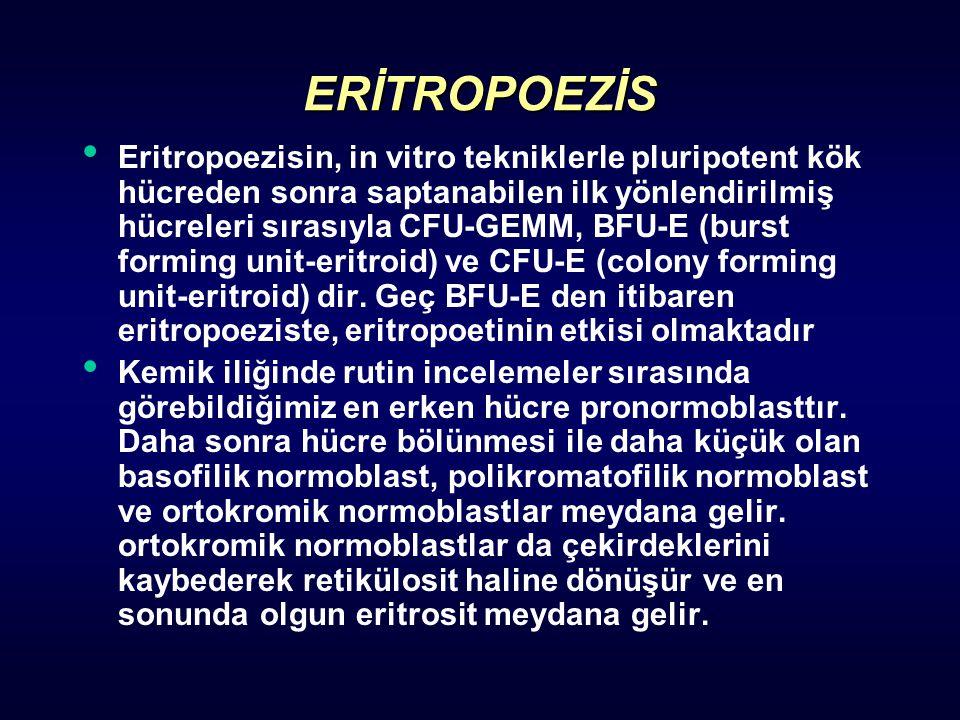 ERİTROPOEZİS Eritropoezisin, in vitro tekniklerle pluripotent kök hücreden sonra saptanabilen ilk yönlendirilmiş hücreleri sırasıyla CFU-GEMM, BFU-E (