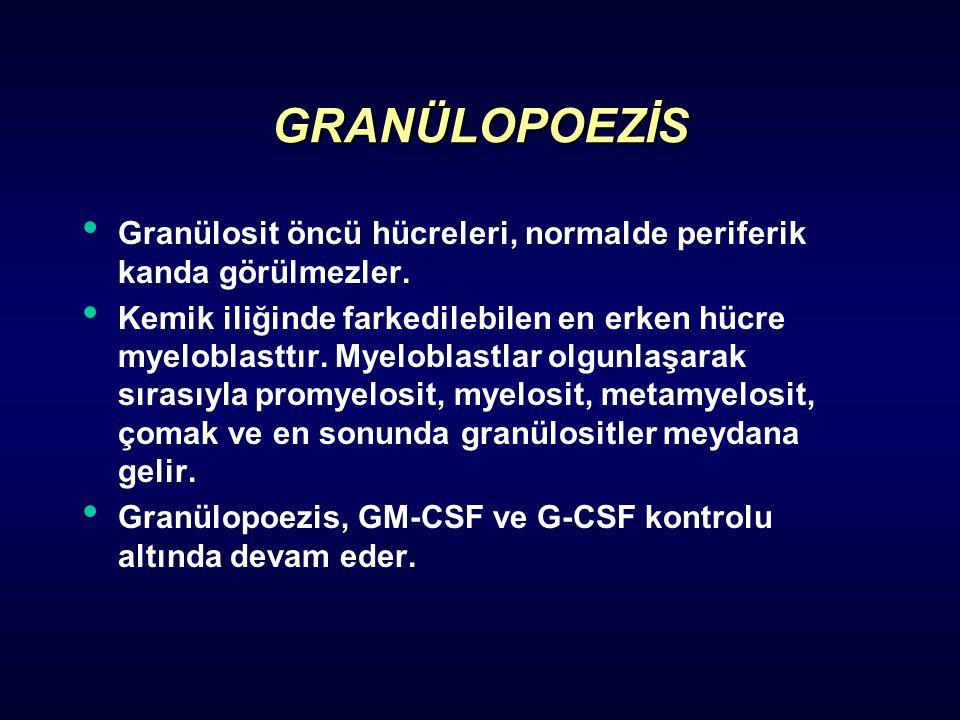 GRANÜLOPOEZİS Granülosit öncü hücreleri, normalde periferik kanda görülmezler. Kemik iliğinde farkedilebilen en erken hücre myeloblasttır. Myeloblastl