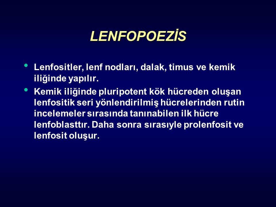LENFOPOEZİS Lenfositler, lenf nodları, dalak, timus ve kemik iliğinde yapılır. Kemik iliğinde pluripotent kök hücreden oluşan lenfositik seri yönlendi