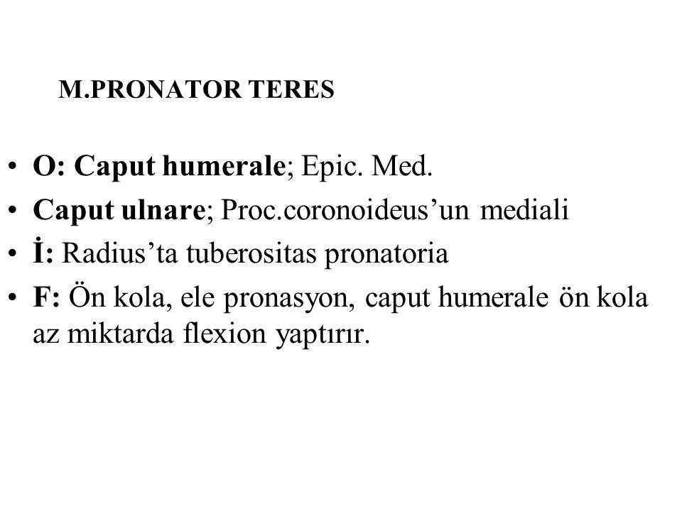 M.PRONATOR TERES O: Caput humerale; Epic. Med. Caput ulnare; Proc.coronoideus'un mediali İ: Radius'ta tuberositas pronatoria F: Ön kola, ele pronasyon
