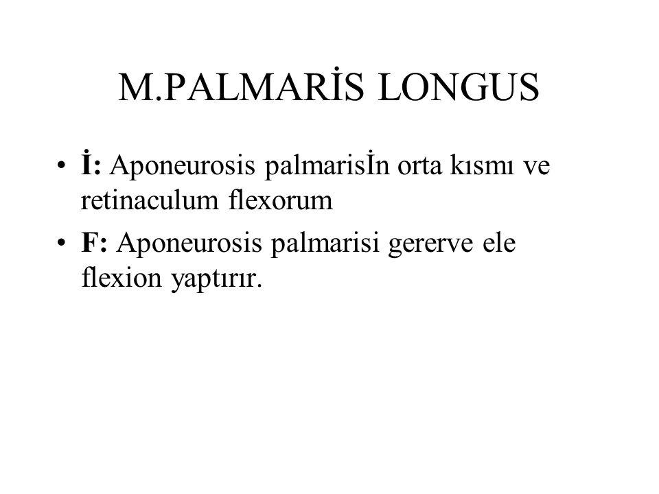 M.PALMARİS LONGUS İ: Aponeurosis palmarisİn orta kısmı ve retinaculum flexorum F: Aponeurosis palmarisi gererve ele flexion yaptırır.