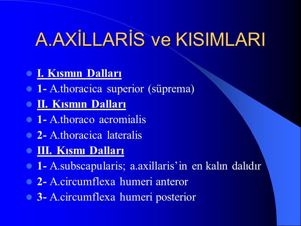 A.AXİLLARİS ve KISIMLARI I.Kısmın Dalları 1- A.thoracica superior (süprema) II.