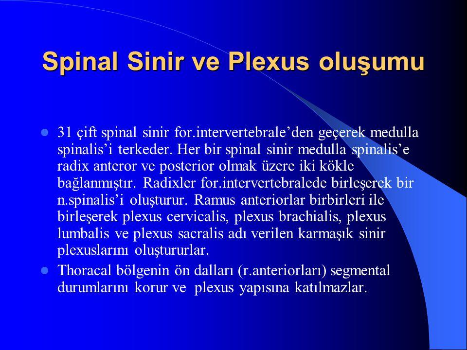 Spinal Sinir ve Plexus oluşumu 31 çift spinal sinir for.intervertebrale'den geçerek medulla spinalis'i terkeder.