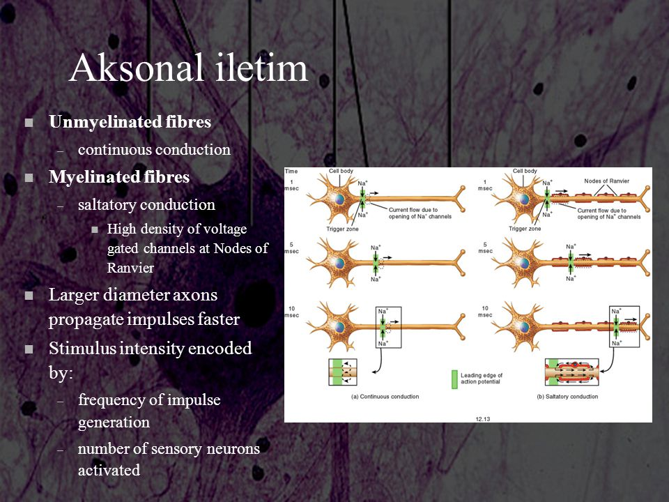 Aksonal iletim n Unmyelinated fibres – continuous conduction n Myelinated fibres – saltatory conduction n High density of voltage gated channels at No