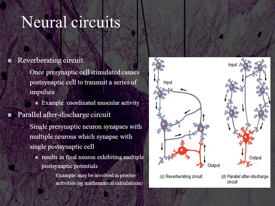 Neural circuits n Reverberating circuit – Once presynaptic cell stimulated causes postsynaptic cell to transmit a series of impulses n Example: coordi