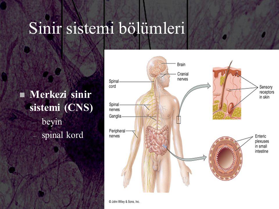 Sinir sistemi bölümleri n Periferik sinir sistemi (PNS): – Kranial ve spinal sinirler – Ganglionlar – Duysal reseptörler n Alt grupları: – Somatik – Otonomik n Motor komponent: – sempatik – parasempatik – Enterik