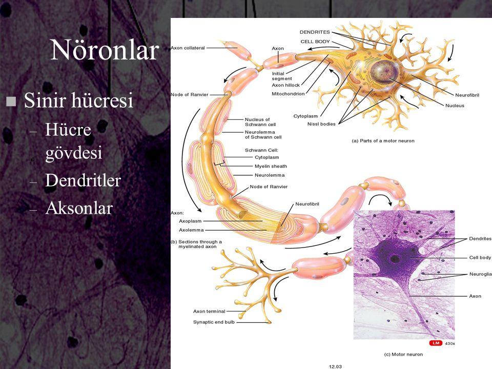 Nöronlar n Sinir hücresi – Hücre gövdesi – Dendritler – Aksonlar