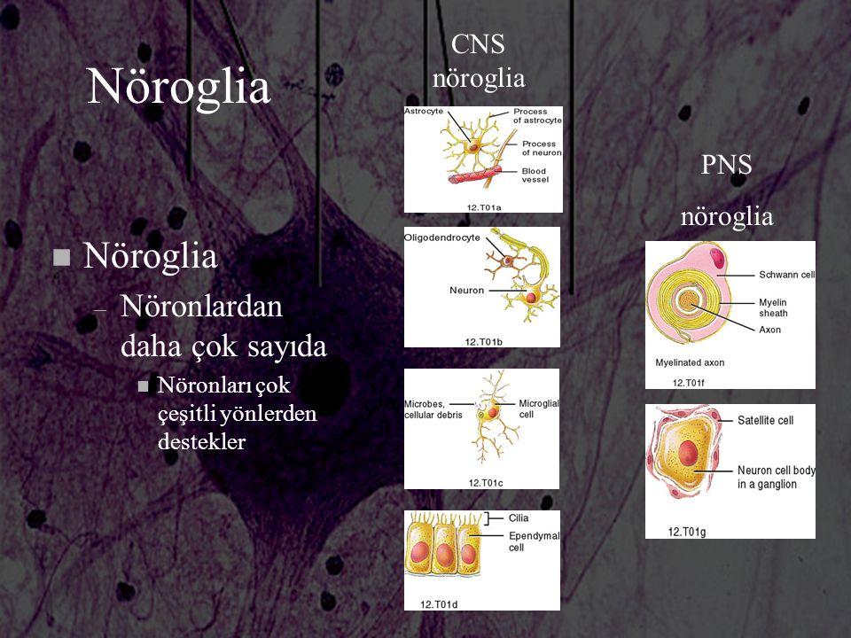 Nöroglia n Nöroglia – Nöronlardan daha çok sayıda n Nöronları çok çeşitli yönlerden destekler CNS nöroglia PNS nöroglia