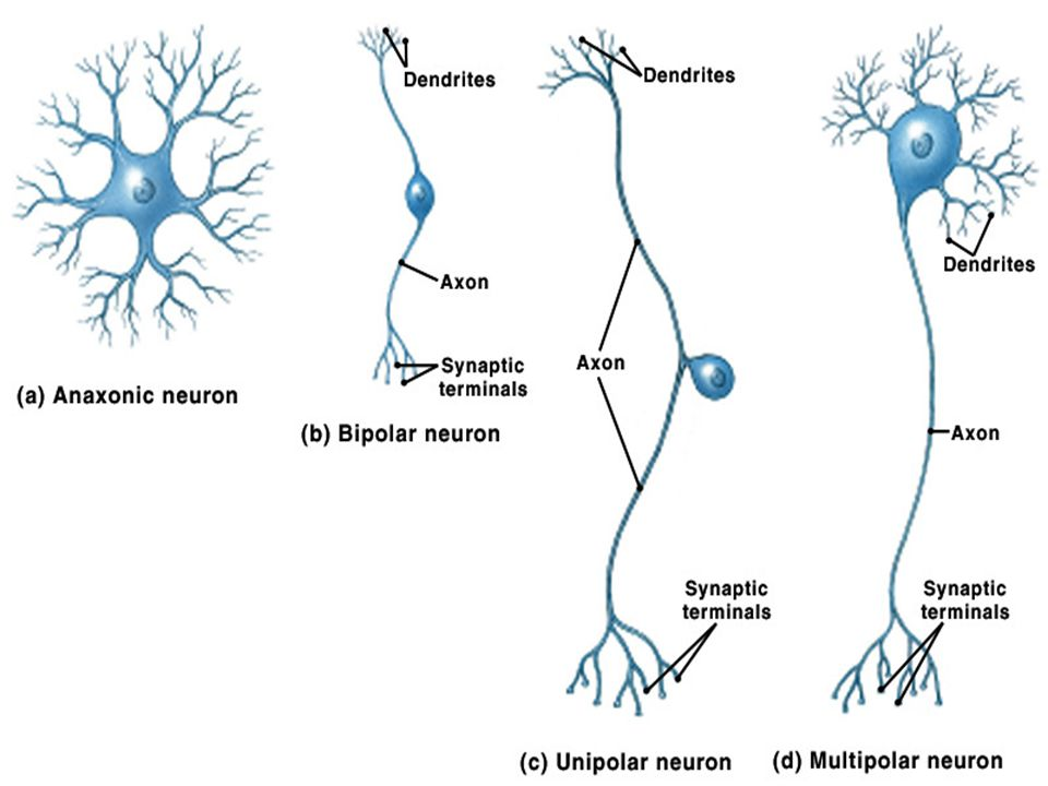 Neural circuits n Reverberating circuit – Once presynaptic cell stimulated causes postsynaptic cell to transmit a series of impulses n Example: coordinated muscular activity n Parallel after-discharge circuit – Single presynaptic neuron synapses with multiple neurons which synapse with single postsynaptic cell n results in final neuron exhibiting multiple postsynaptic potentials – Example: may be involved in precise activities (eg mathematical calculations)