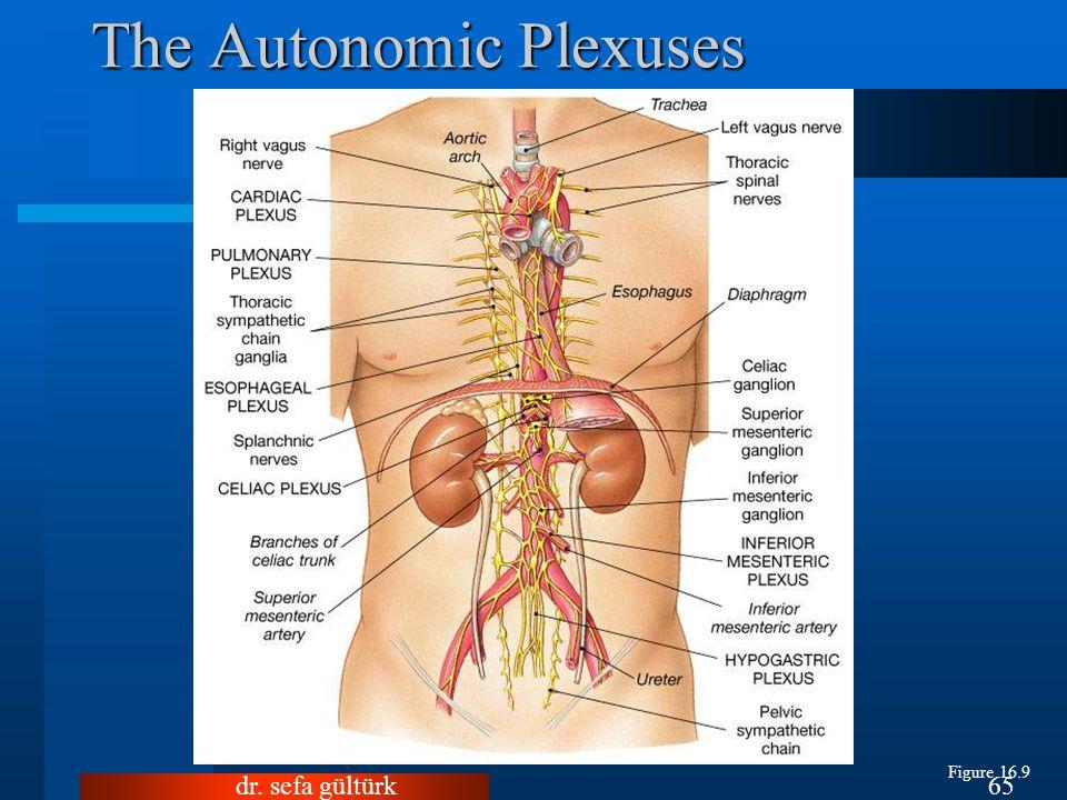 dr. sefa gültürk65 The Autonomic Plexuses Figure 16.9