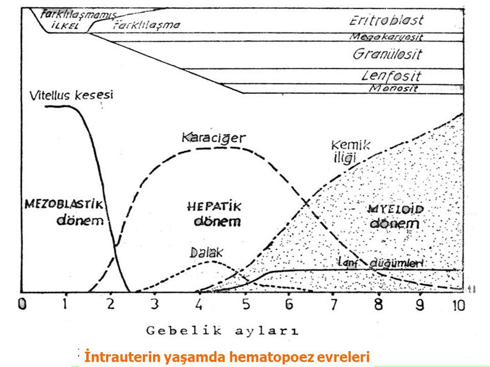 İntrauterin yaşamda hematopoez evreleri