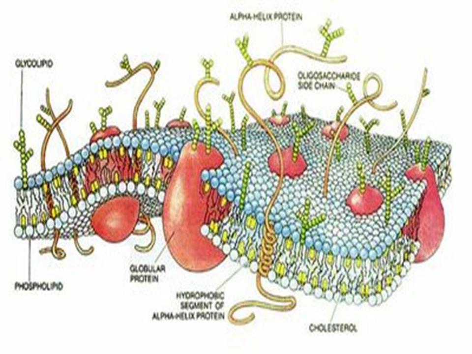Eritrositlerin yıkımı-2 ATP ve NADPH eritrositlerin yaşamında önemli role sahiptir.