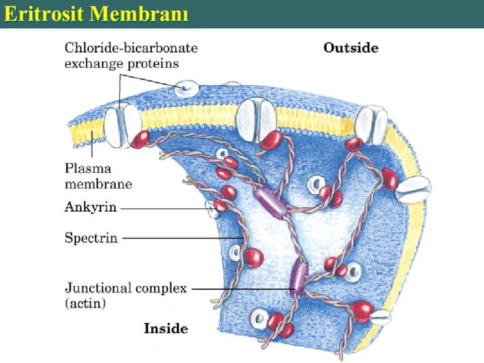 Orak hücreli anemi (Sickle cell anemia) Eritrositler Hb S denilen anormal hb içerirler.