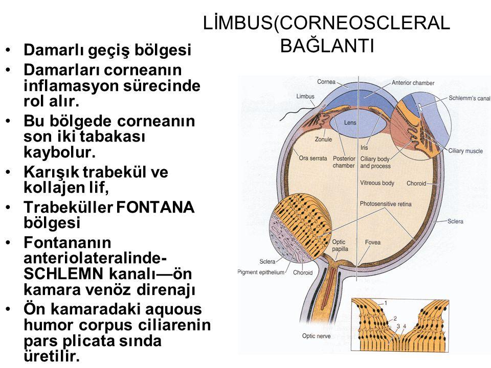 LİMBUS(CORNEOSCLERAL BAĞLANTI Damarlı geçiş bölgesi Damarları corneanın inflamasyon sürecinde rol alır. Bu bölgede corneanın son iki tabakası kaybolur