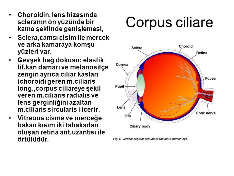 Corpus ciliare Choroidin, lens hizasında scleranın ön yüzünde bir kama şeklinde genişlemesi, Sclera,camsı cisim ile mercek ve arka kamaraya komşu yüzl