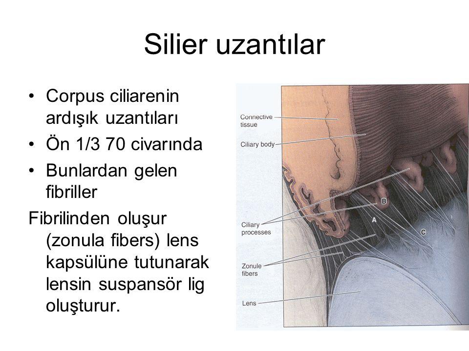 Silier uzantılar Corpus ciliarenin ardışık uzantıları Ön 1/3 70 civarında Bunlardan gelen fibriller Fibrilinden oluşur (zonula fibers) lens kapsülüne