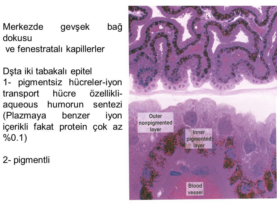 Merkezde gevşek bağ dokusu ve fenestratalı kapillerler Dşta iki tabakalı epitel 1- pigmentsiz hücreler-iyon transport hücre özellikli- aqueous humorun