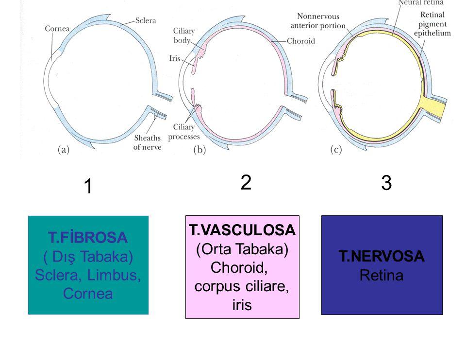 T.FİBROSA ( Dış Tabaka) Sclera, Limbus, Cornea T.VASCULOSA (Orta Tabaka) Choroid, corpus ciliare, iris T.NERVOSA Retina 1 2 3