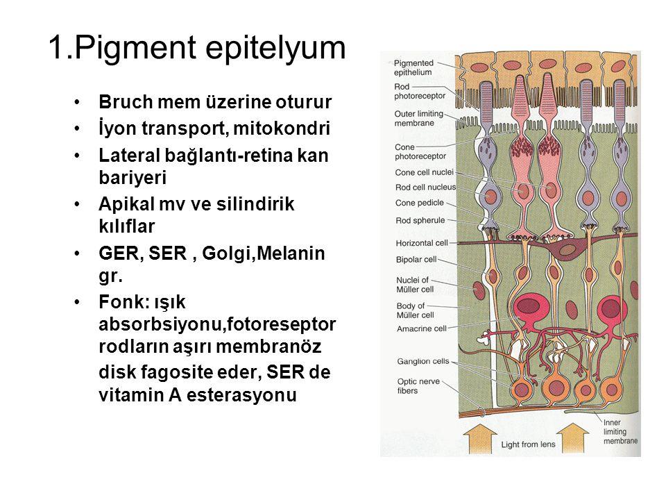 1.Pigment epitelyum Bruch mem üzerine oturur İyon transport, mitokondri Lateral bağlantı-retina kan bariyeri Apikal mv ve silindirik kılıflar GER, SER