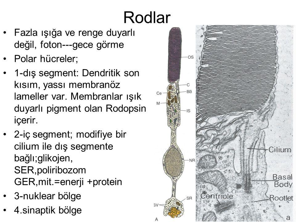 Rodlar Fazla ışığa ve renge duyarlı değil, foton---gece görme Polar hücreler; 1-dış segment: Dendritik son kısım, yassı membranöz lameller var. Membra