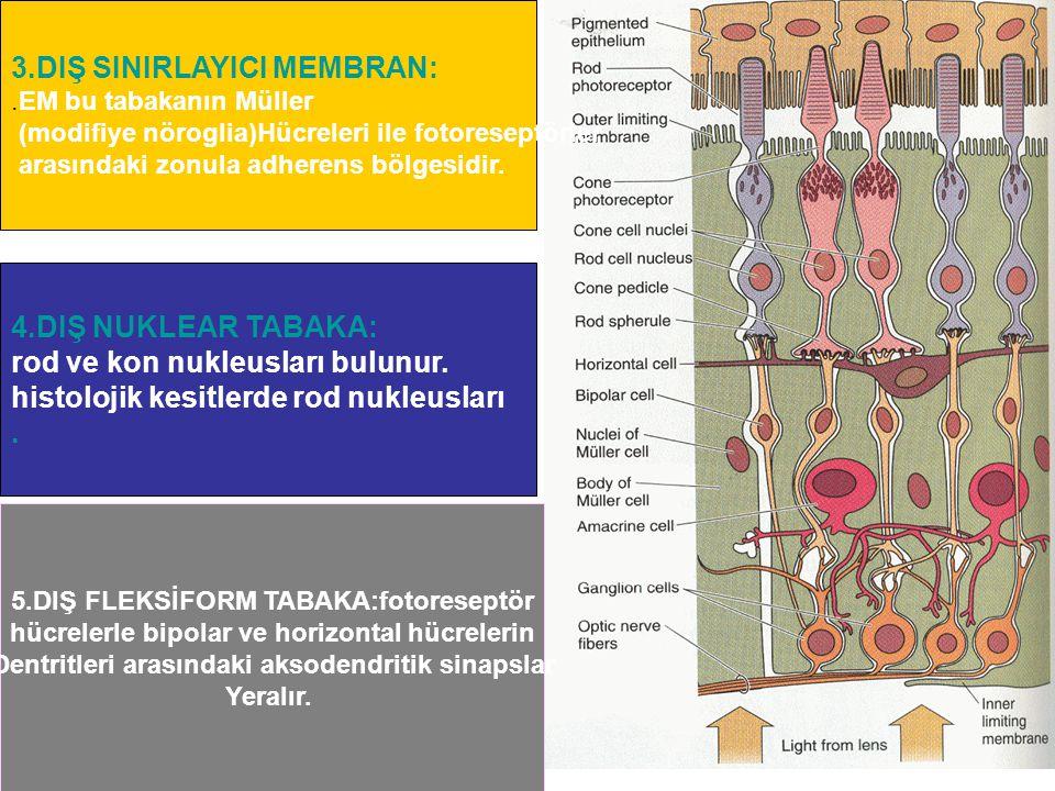 3.DIŞ SINIRLAYICI MEMBRAN:.EM bu tabakanın Müller (modifiye nöroglia)Hücreleri ile fotoreseptörler arasındaki zonula adherens bölgesidir. 4.DIŞ NUKLEA