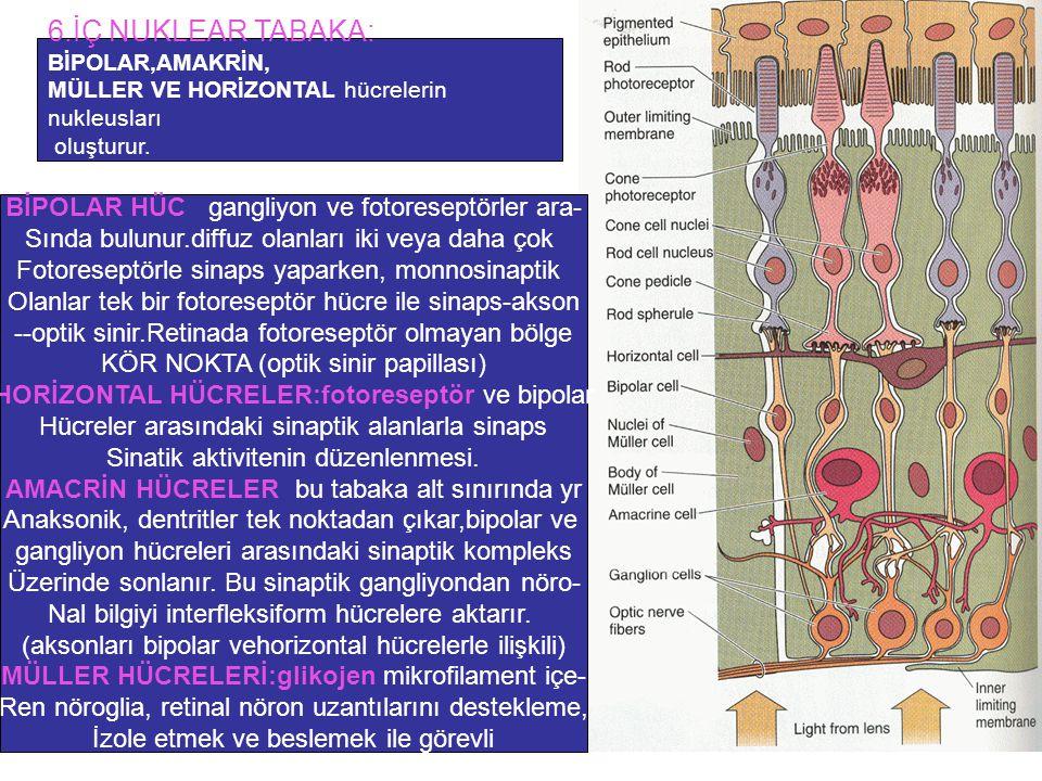 6.İÇ NUKLEAR TABAKA: BİPOLAR,AMAKRİN, MÜLLER VE HORİZONTAL hücrelerin nukleusları oluşturur. BİPOLAR HÜC: gangliyon ve fotoreseptörler ara- Sında bulu